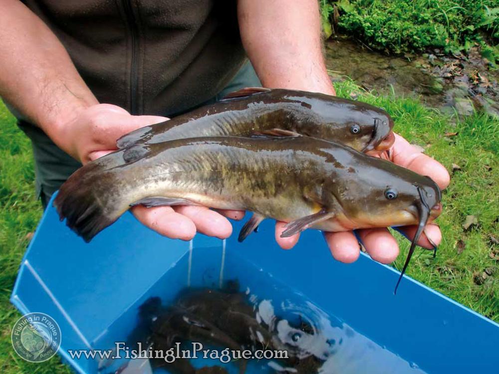 Рыбалка американский сомик