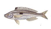 Черноморская ставрида