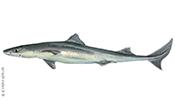 Колючая акула