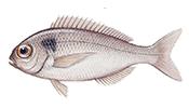 Axillary seabream