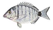 Sharpsnout seabream