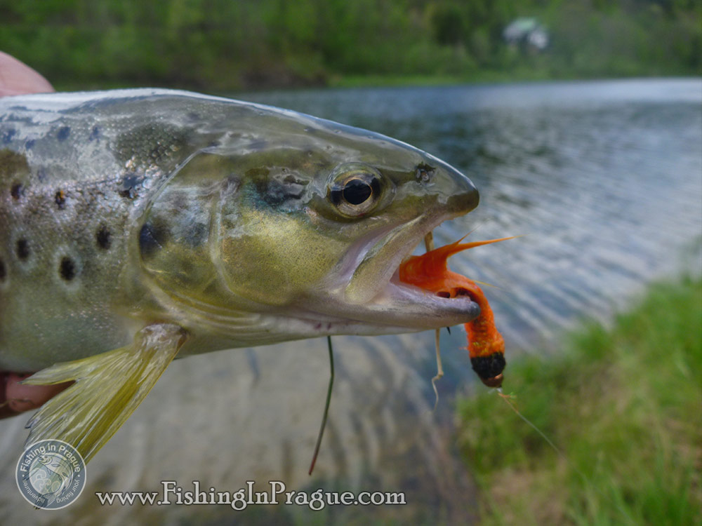 Lake fly fishing - brown trout