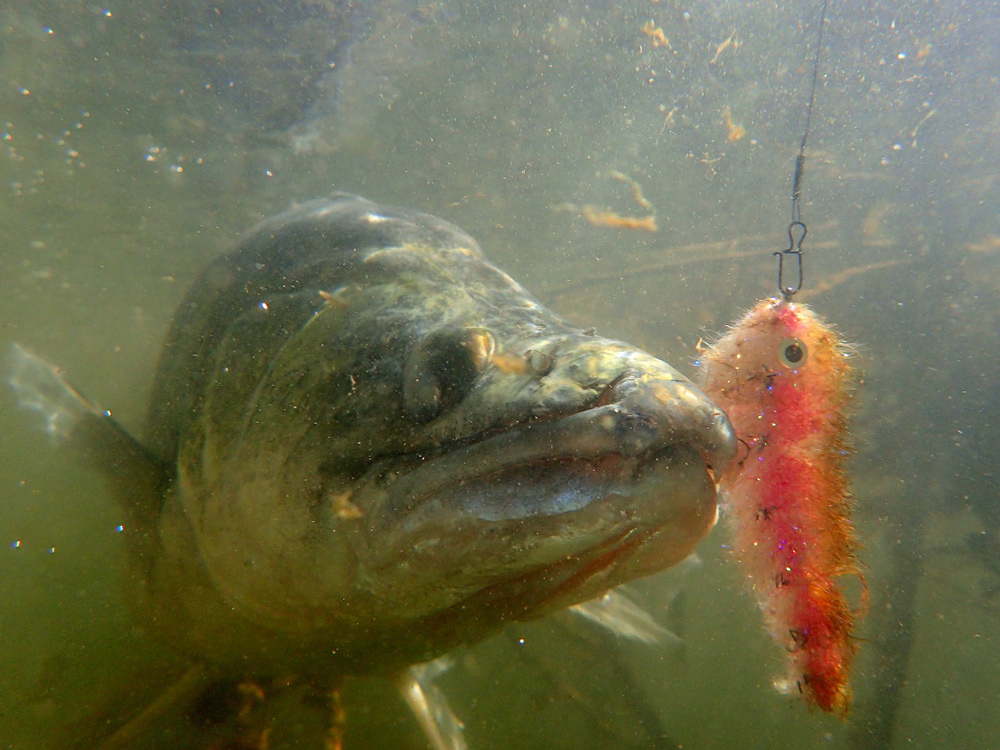 Zander or pikeperch on the fly from Rio Ebro