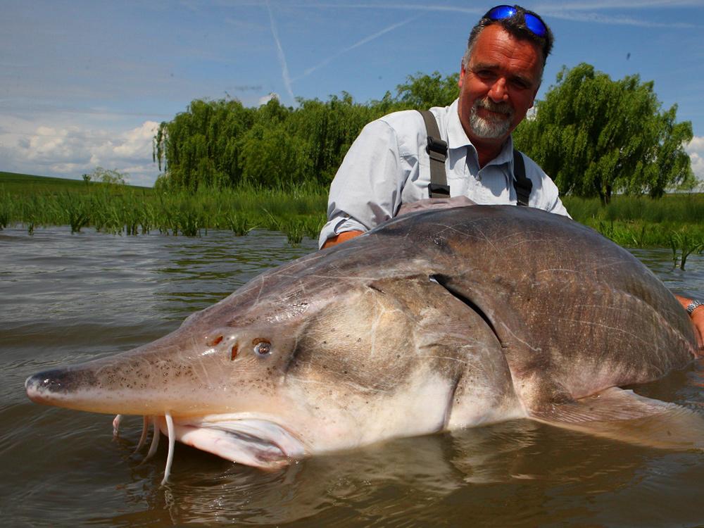 Big white sturgeon from Rumania