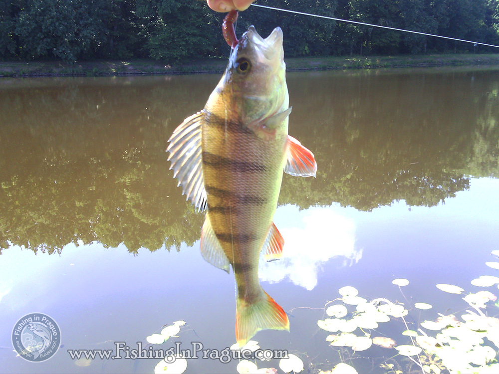 Common size of a perch from Elbe